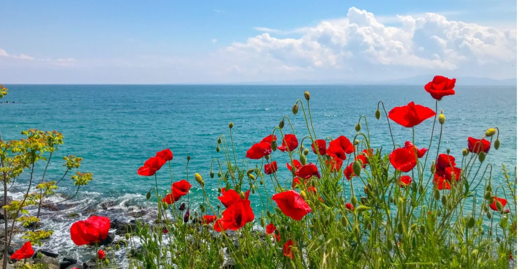 red poppies flowering in pomorie bulgaria picture id1148452929